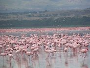 Millions of flamingoes