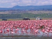 Flamingoes Lake Nakuru